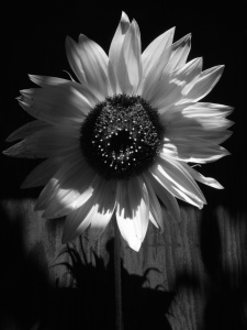 BLK & WHT SUNFLOWER