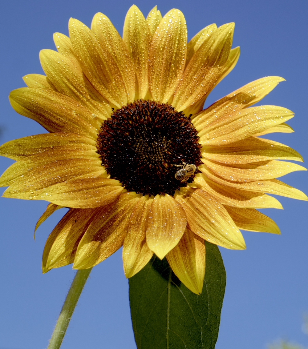 sunflower-w-dew-bee