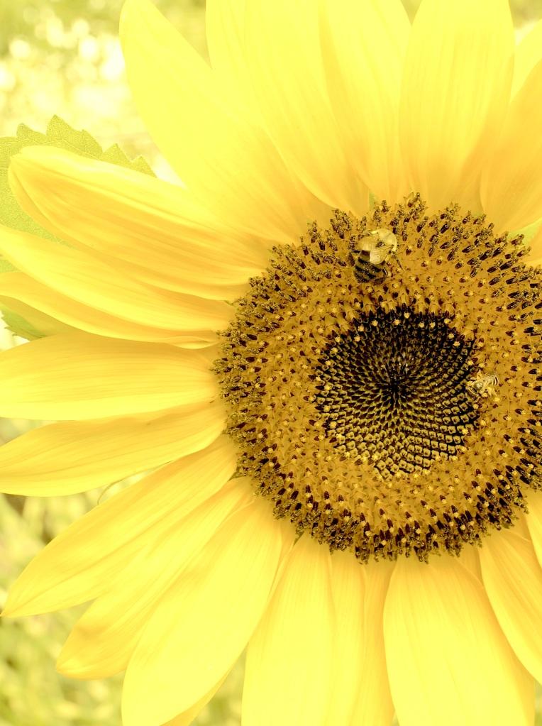 LITTLE GREEN BEE ON GOLD SUNFLOWER