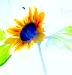 SUNFLOWER WITH BLUE CENTER