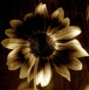 sunflower-dark-shadows