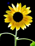 backlit-sunflower
