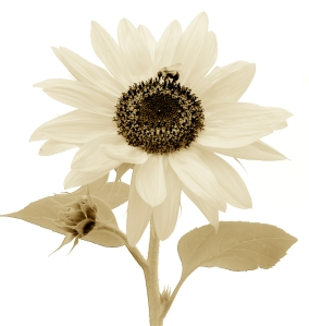 sepia-sunflower