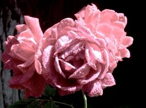 LARGE PINK ROSE *