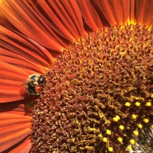 BRIGHT ORANGE SUNFLOWER & HONEY BEE